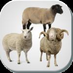 نژادهای گوسفند