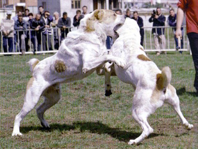 سگ آلابای | Alabai