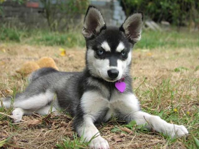 نژاد سگ آلاسکن کلیی کایی | Alaskan Klee Kai