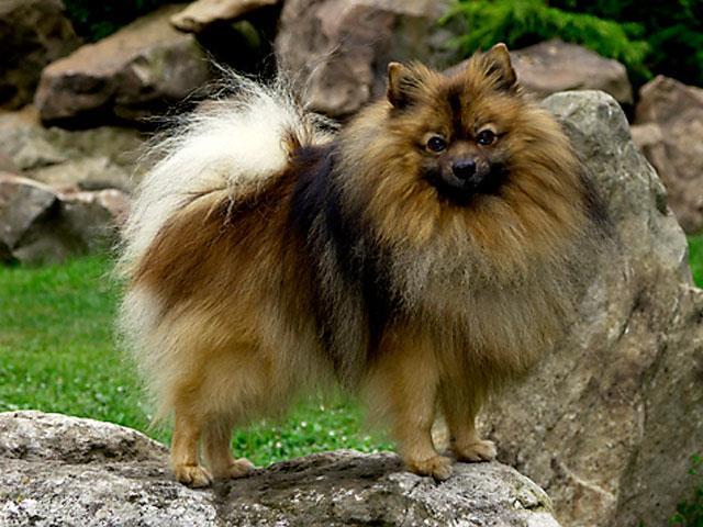 سگ اشپیتز آلمانی | German Spitz