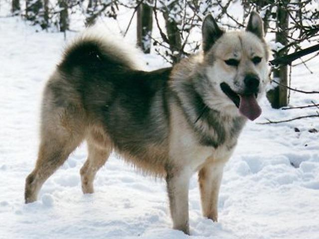 سگ گرین لند داگ | Greenland Dog