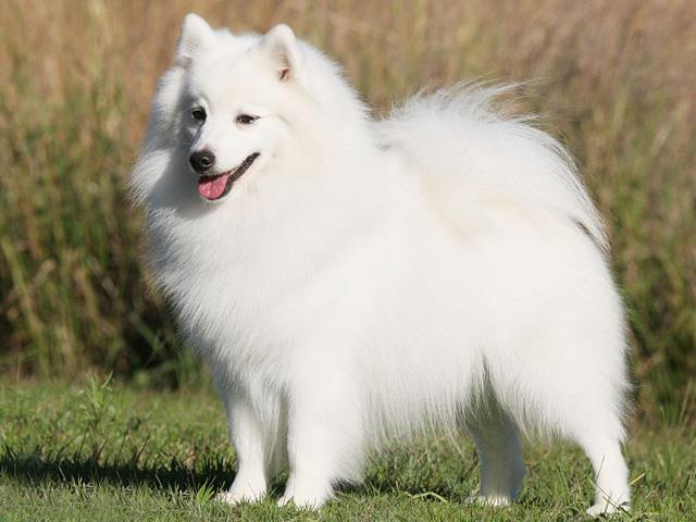 سگ جاپانیز اشپیتز | Jpanese Spitz