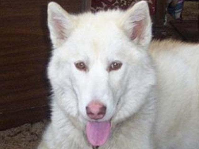 سگ لابرادور هاسکی Labrador Husky