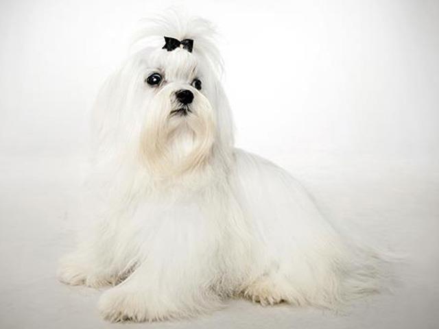 سگ مالتیز | Maltese