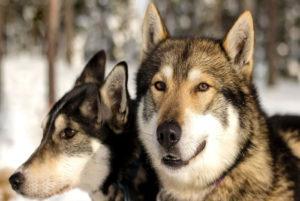 سگ های قطبی