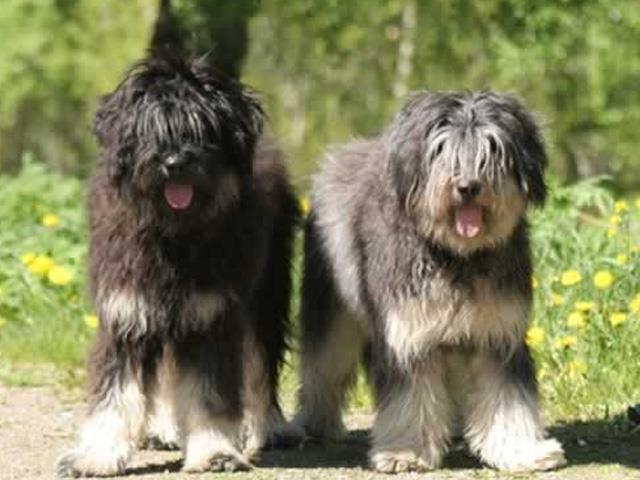 سگ پرتگیز شپرد | Portuguese Shepherd