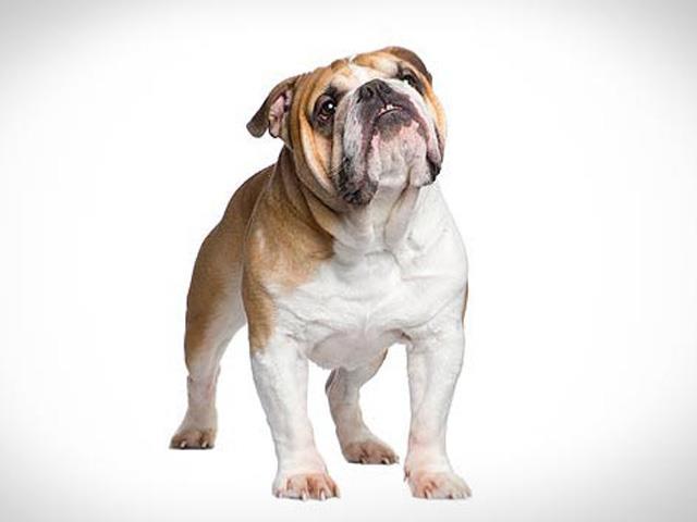 سگ انگلیش بولداگ | English Bulldog
