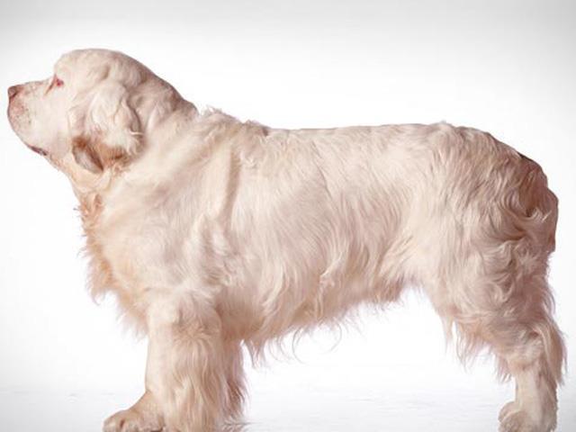 سگ کلامبر اسپانیل | Clumber Spaniel
