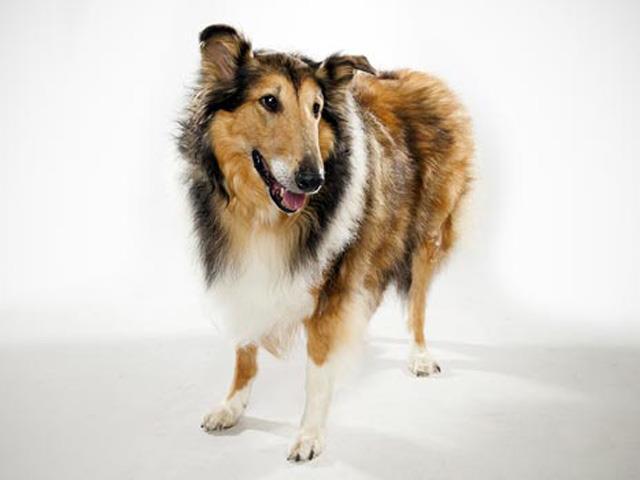 سگ راف کولی | Rogh Collie