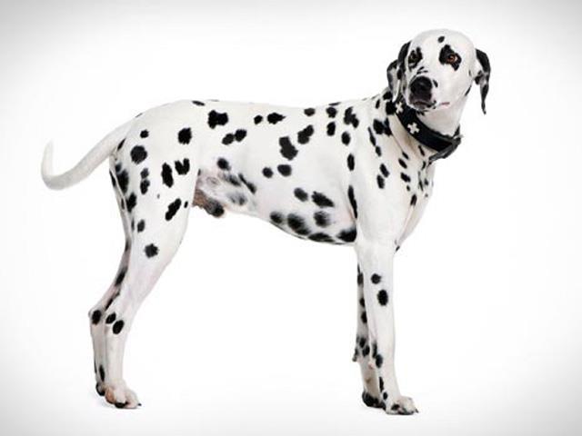 سگ دالمیشن | Dalmatian