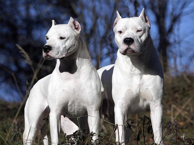 سگ داگو آرژانتینو | Dogo Argentino