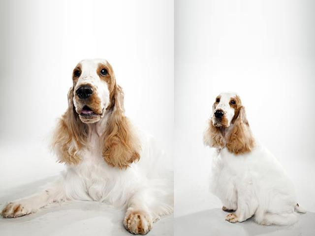 سگ انگلیش کوکر | English Cocker