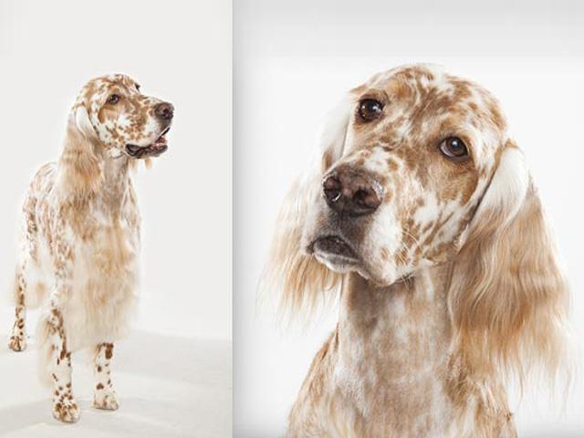 سگ انگلیش ستر | English Setter