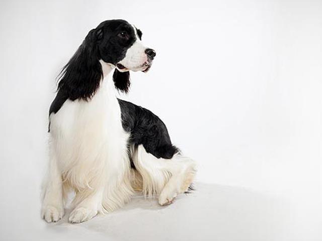 سگ انگلیش اسپرینگر | English Springer