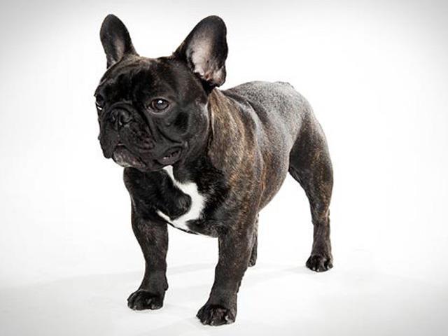 سگ فرنچ بولداگ | French Bulldog