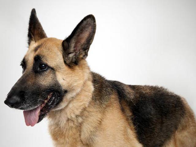 سگ جرمن شپرد | German Shepherd
