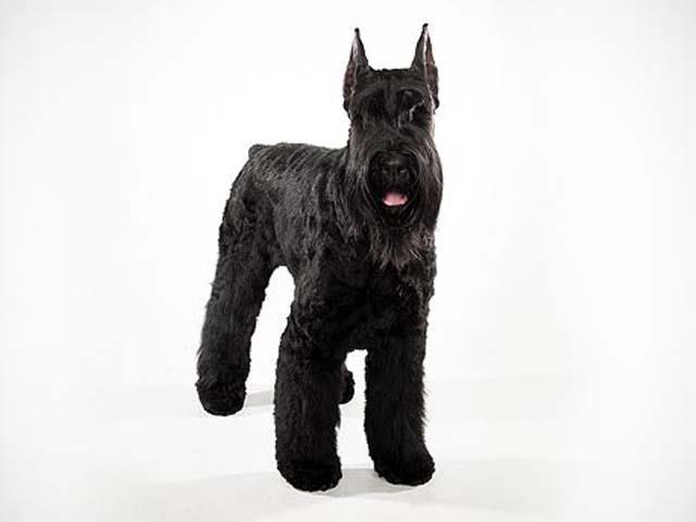 سگ اشنوزر غول پیکر | Schnauzer Giant