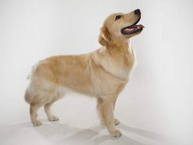 سگ گلدن رتریور | Golden Retriever