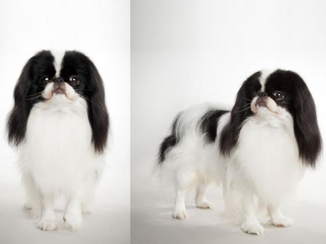 سگ جاپانیز چاین | Japanese Chin