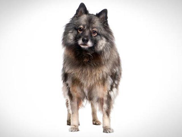 سگ کیزهاند | Keeshond