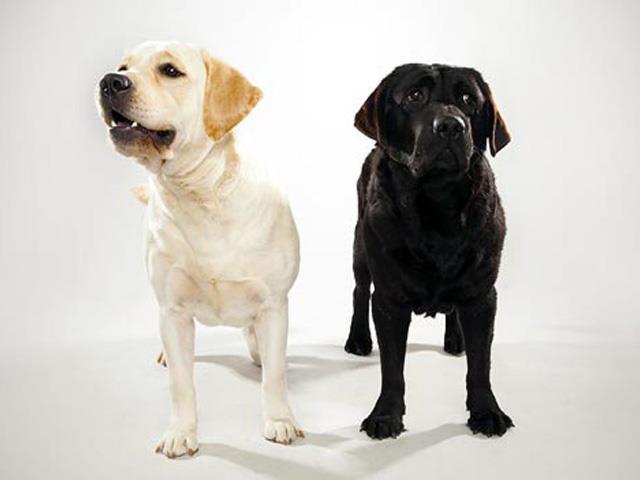 سگ لابرادور رتریور | Labrador Retriever