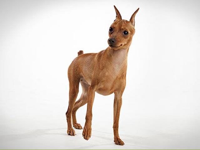 سگ مینیاتور پینچر | Miniature Pinscher
