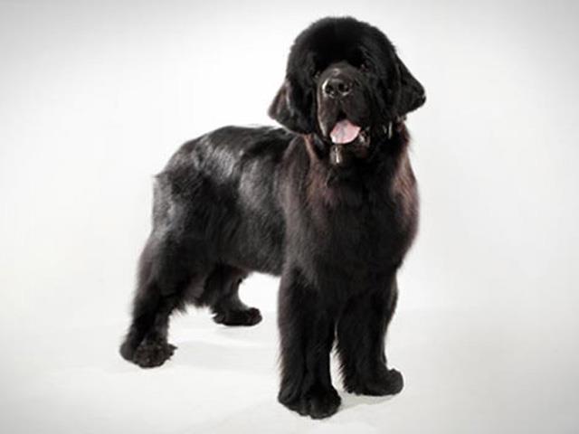 سگ نیوفاندلند | Newfoundland