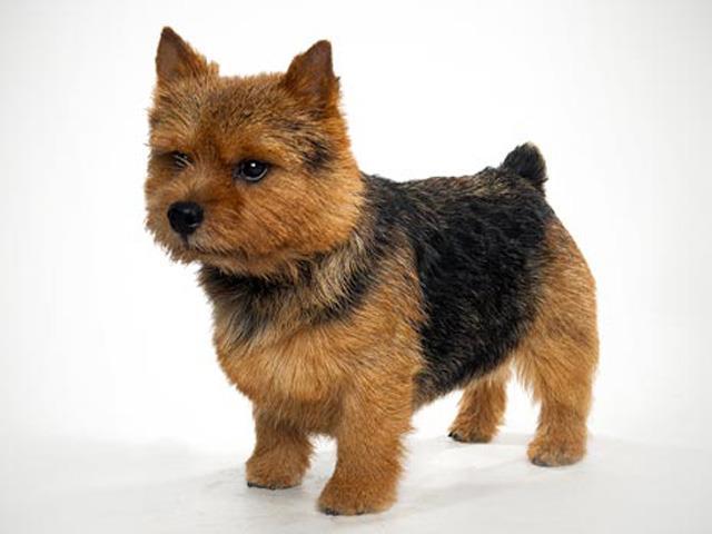 سگ نرویچ تریر Norwich Terrier