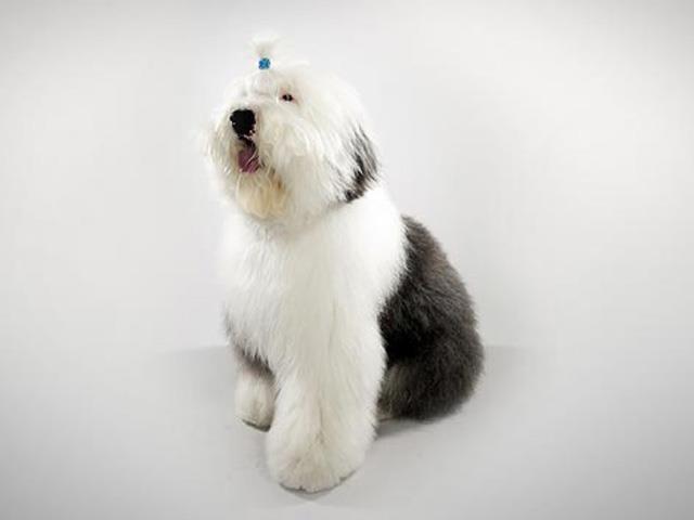 سگ الدانگلیش شیپداگ | Old English Sheepdog