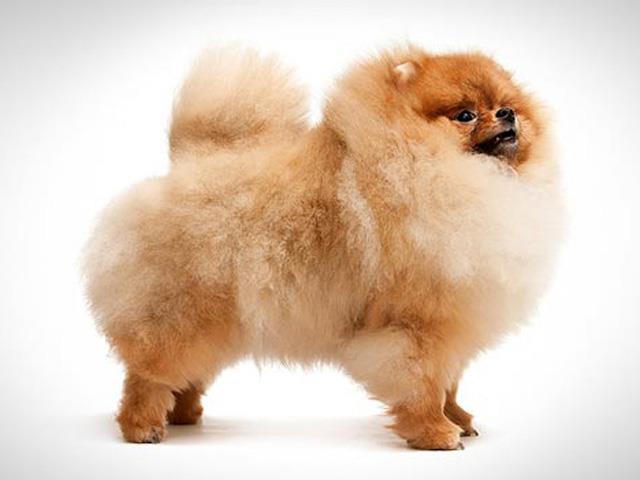 سگ پامرانیان | Pomeranian