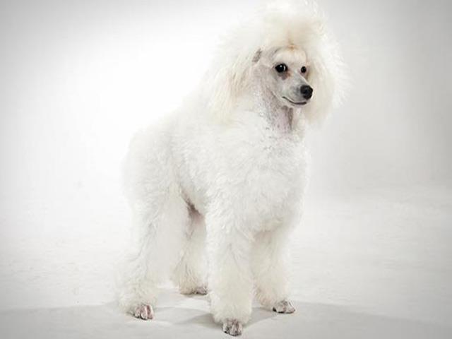سگ پودل عروسکی | poodle Toy