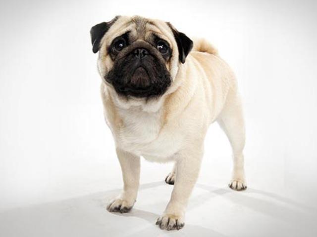 سگ پاگ | Pug