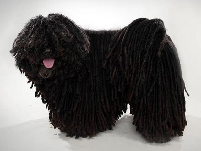 سگ پولی | Puli