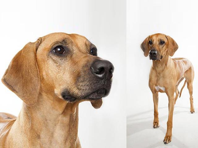 سگ ردیژن ریدج بک | Rhodesian Ridgeback