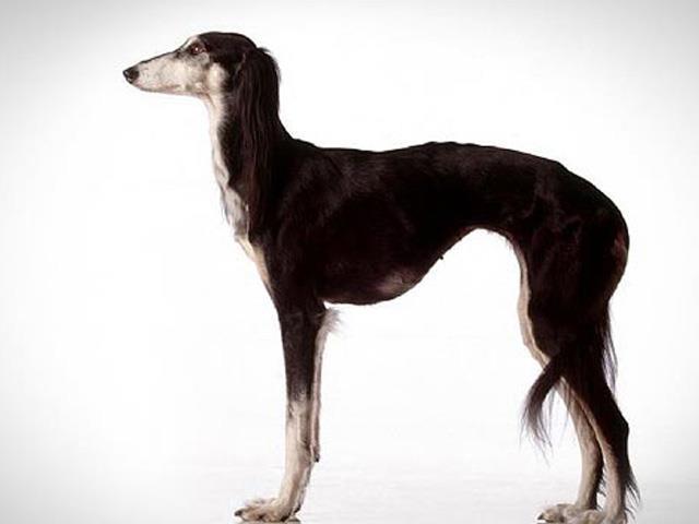 نژاد سگ سالوکی Saluki