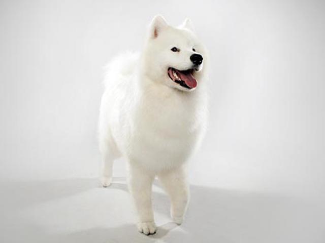 سگ ساموید | Samoyed
