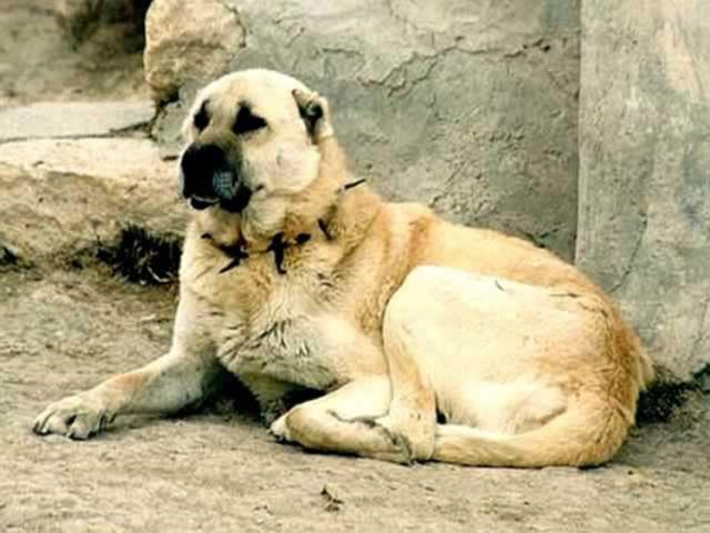 سگ سرابی | Sarab