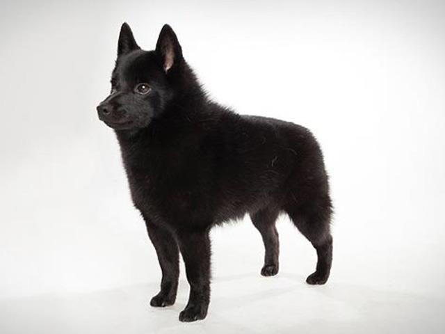 سگ اسچیپرکی | Schipperke