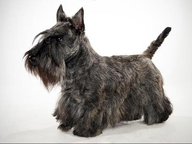 سگ اسکاتیش تریر | Scottish Terrier