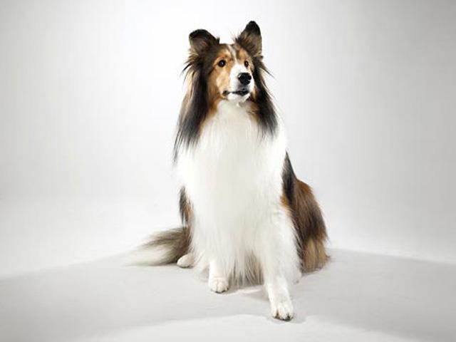 سگ شتلند شیپداگ | Shetland Sheepdog