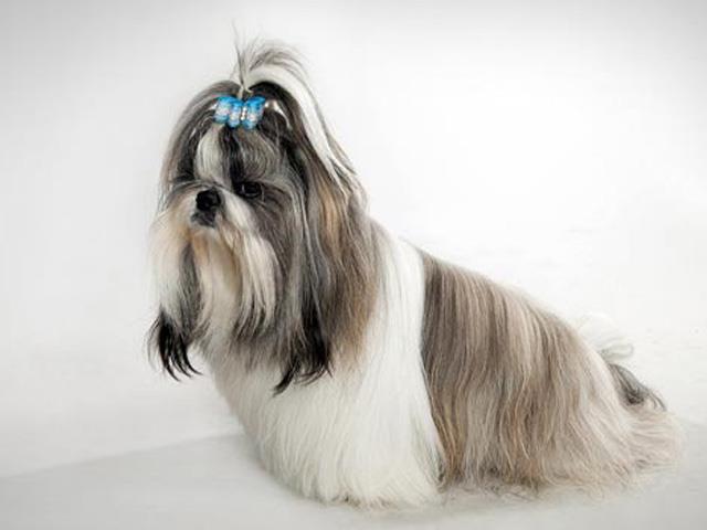 سگ شیتزو Shih Tzu