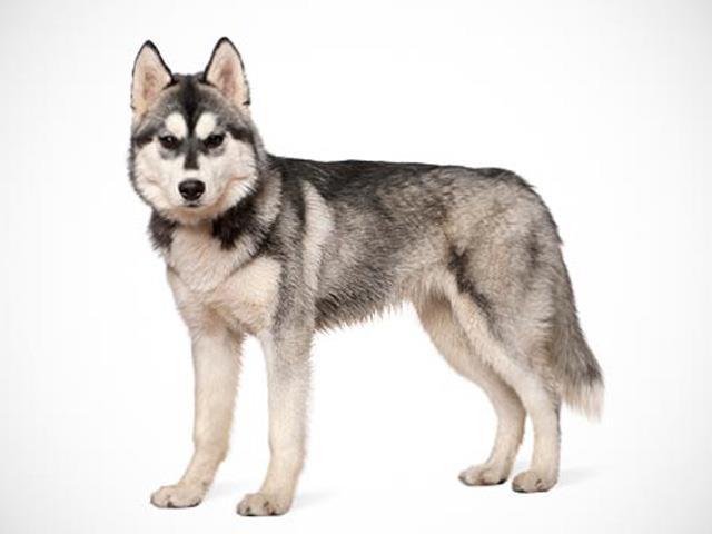 سگ سیبرین هاسکی | Siberian Husky
