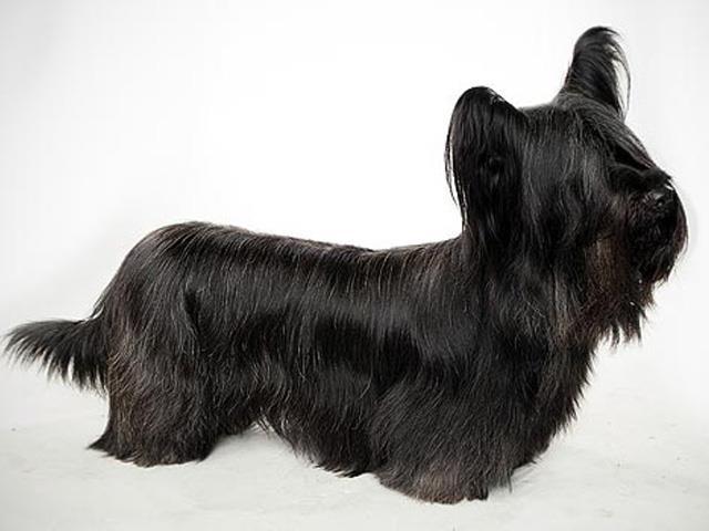 سگ اسکای تریر | Skye Terrier