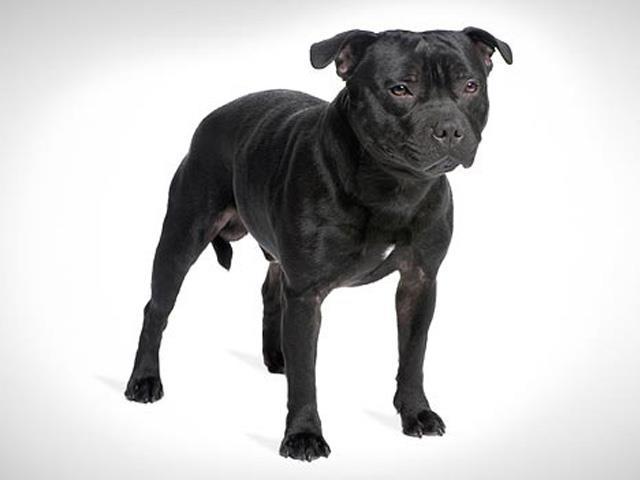 سگ استافوردشایر بول | Staffordshire Bull Terrier