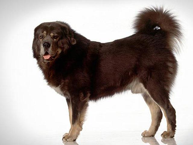 نژاد سگ تیبتن ماستیف | Tibetan Mastiff