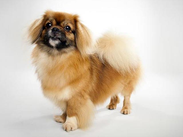 سگ نژاد تیبتن اسپانیل | Tibetan Spaniel