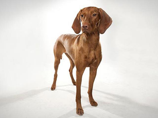 سگ ویشلا | Vizsla