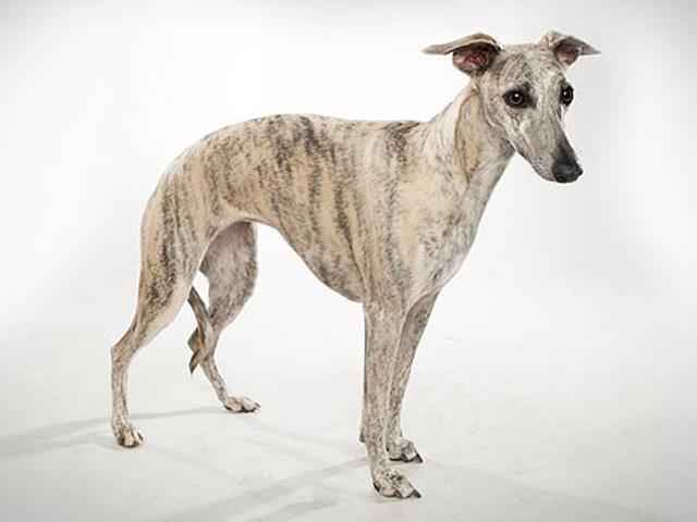 نژاد سگ ویپت | Whippet