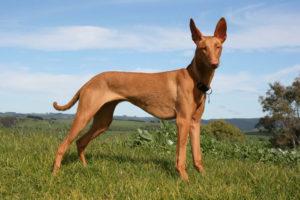 نژادهای سگ شکاری