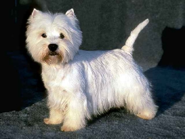 سگ وست هایلند وایت | West Highland White